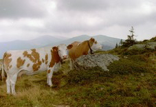 FotosRGES: th_Two_Cows_on_Hill_AT_2001-KIH