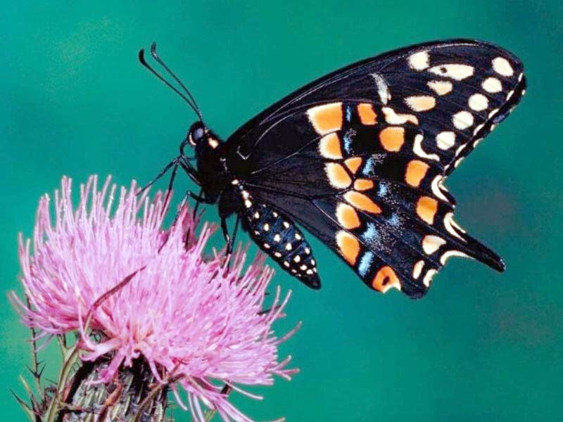 Black butterfly on pink thistle flower
