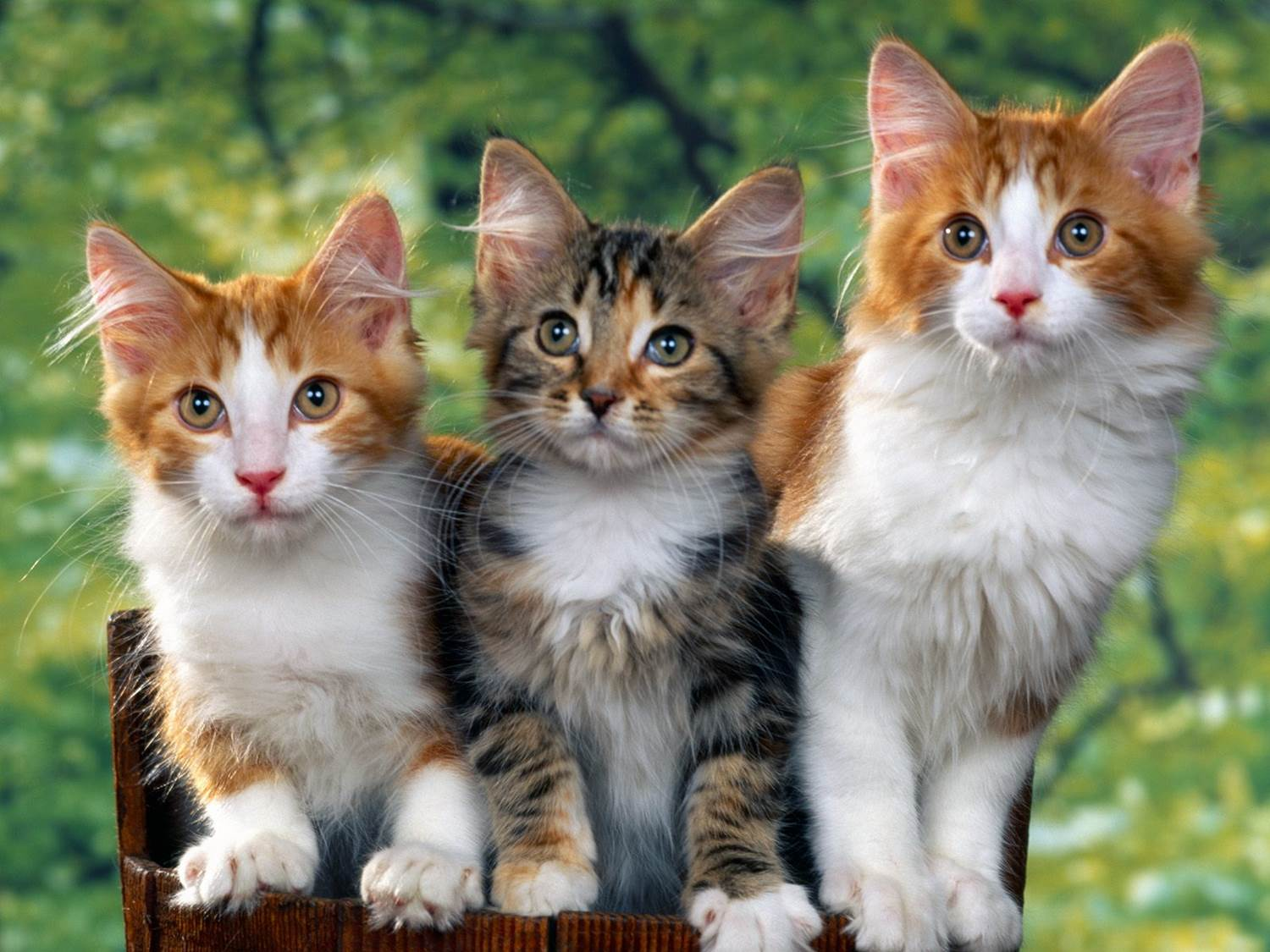 Orange white kittens
