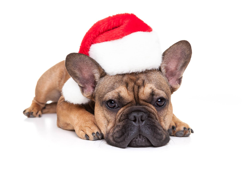 French Bulldog with red Christmas hat