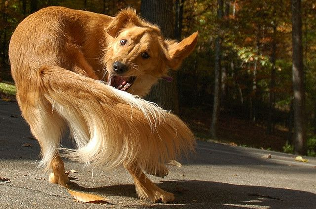 Brown dog chasing his tail