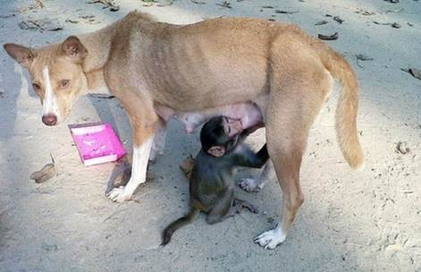 Baby monkey survives via drinking milk from lean mother dog