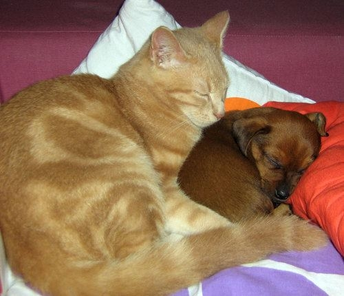 Cat sleeping next to puppy dog