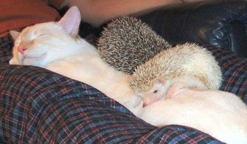 Cat sleeping with 2 hedgehogs