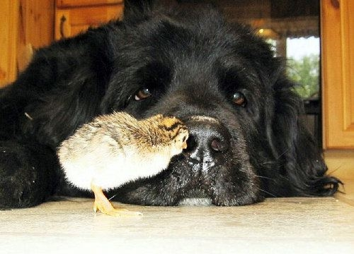 Chicken pecking black dogs nose