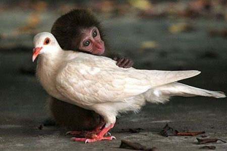 Baby monkey hugging white dove