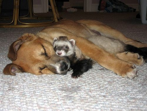 Dog sleeping with racoon