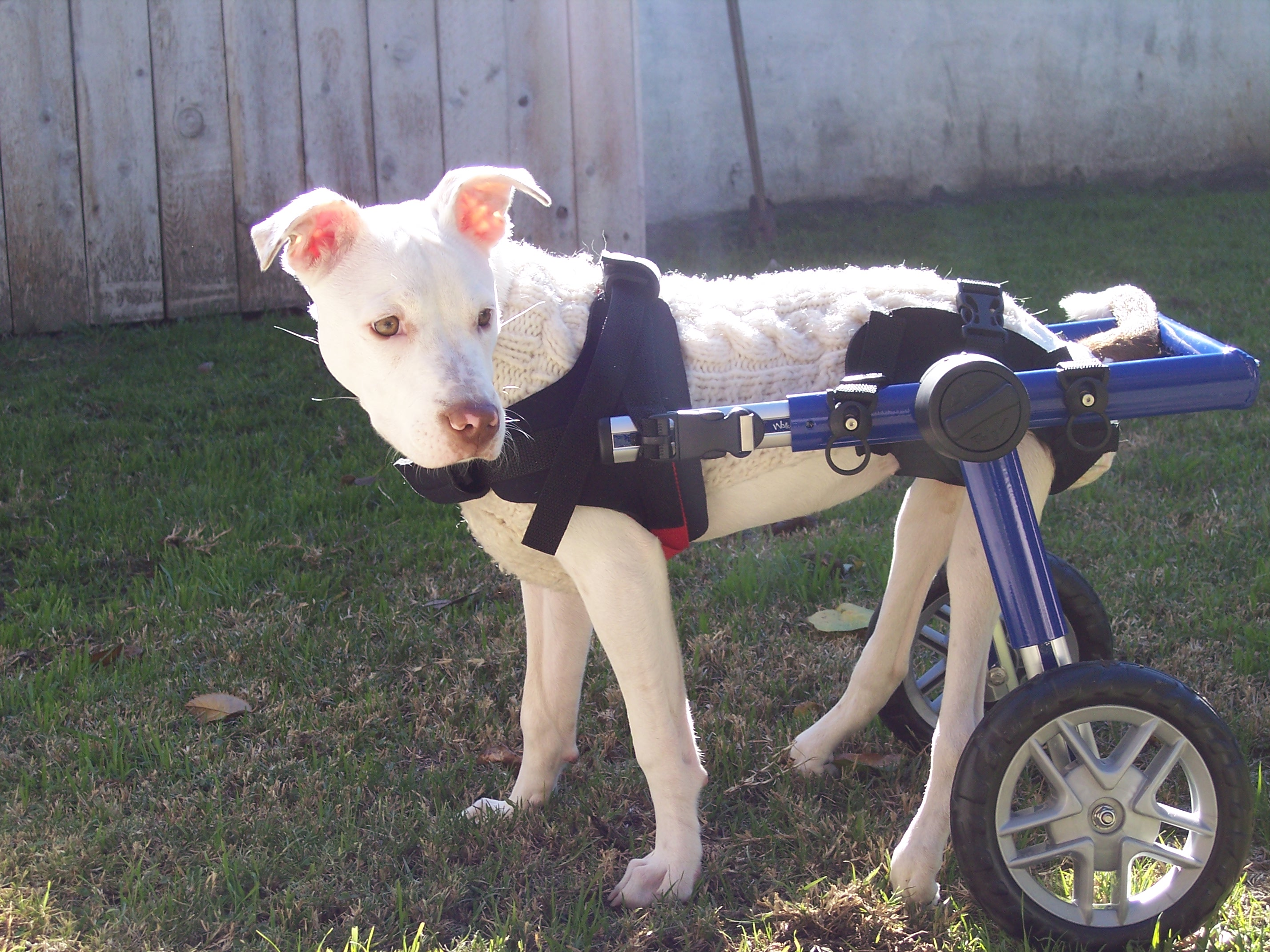 Dog Mika in special wheelchair
