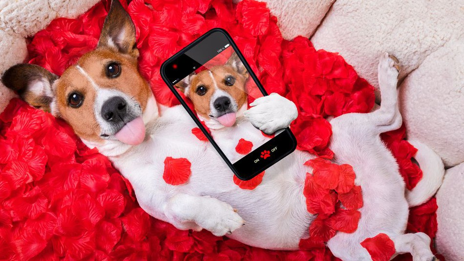 Jack Rissell Dog   Valentine with Selfie on Smartphone