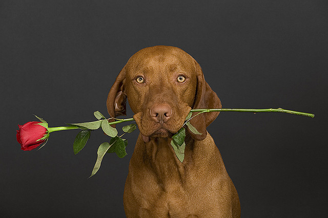 Valentine Dog with rose