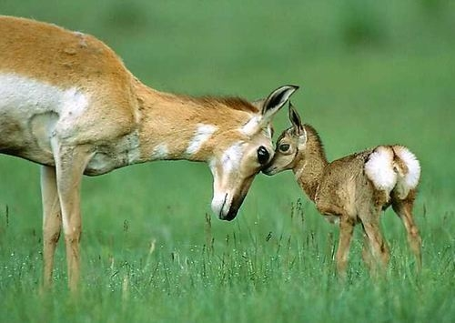 Mother Deer and young